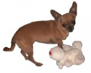 A 4 pound chihuahua standing next to her stuffed reindeer toy. Too cute for words